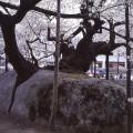 石割桜(盛岡)ishiwarizakura (morioka) 2